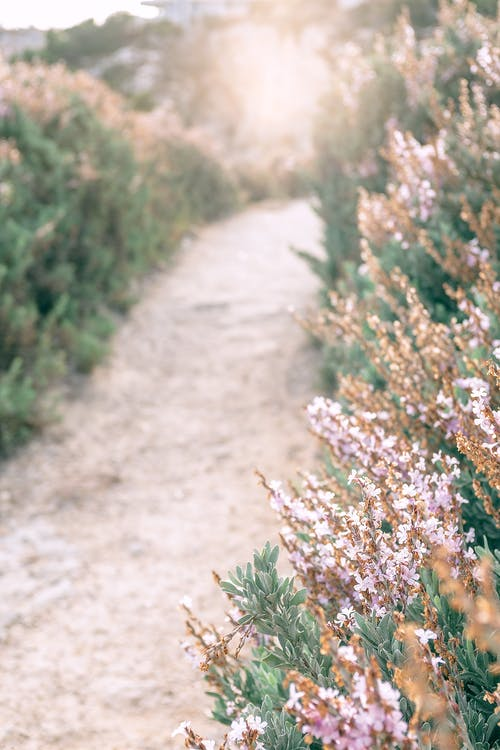 High angle of narrow empty pathway among blooming pink heather flowering plant in field in sunlight