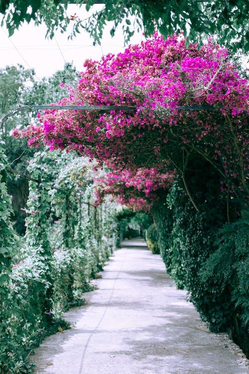 Hoa Giấy Nở Lớn Trong Khu Vườn Gần Con Hẻm Có Mái Vòm