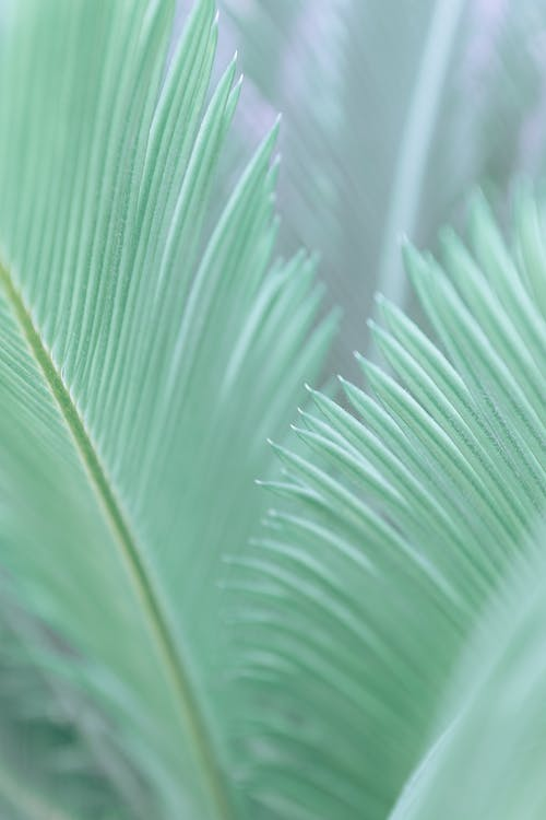 Closeup of green leaves of exotic Japanese sago palm growing in garden in sunlight