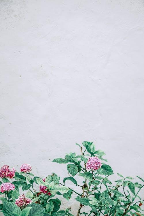 Blooming Hydrangea macrophylla flowers growing against white wall