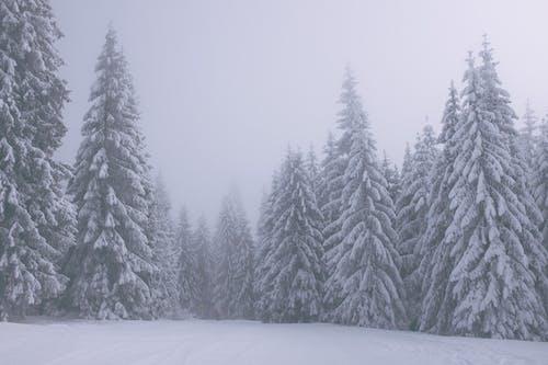 Árvores Coníferas Cobertas De Neve Na Floresta Em Dia De Nevoeiro