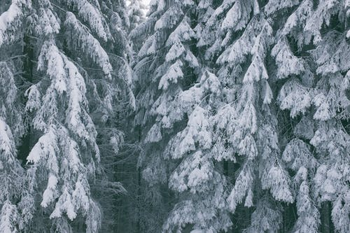 Scenic view of high trees covered with snow in winter forest in daytime