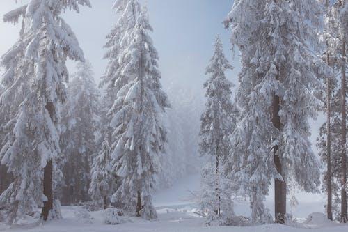 Árvores Com Neve Perto Da Clareira Em Dia De Nevoeiro