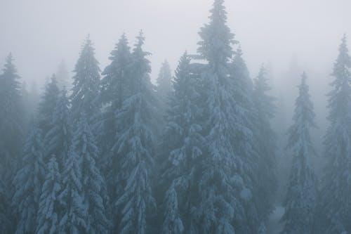Árvores Com Neve Em Bosques Enevoados No Inverno