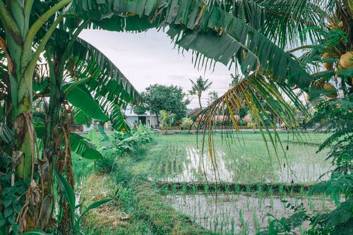 Agricultural rice field near coconut palm tree on farmland