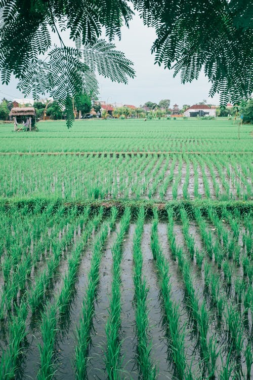 Green rice growing in rows in agricultural flooded field under branches of tropical plant