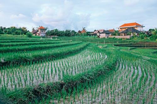 Perkebunan Padi Tumbuh Di Pertanian Tropis