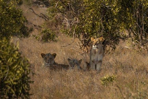Základová fotografie zdarma na téma 3 ženské lvi pod bushem, cestování, divočina, divoký