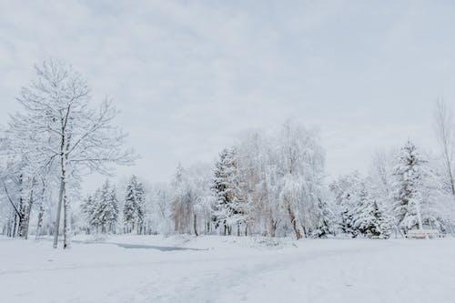 Immagine gratuita di abete, albero, ambiente