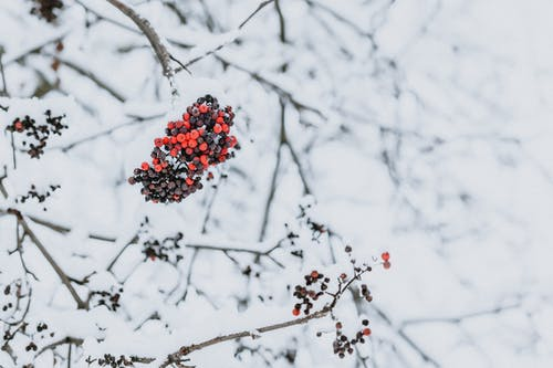 Branch with berries covered with snow