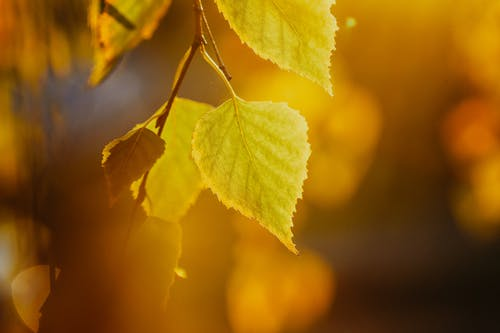 Yellow leaf of birch at bright sunlight