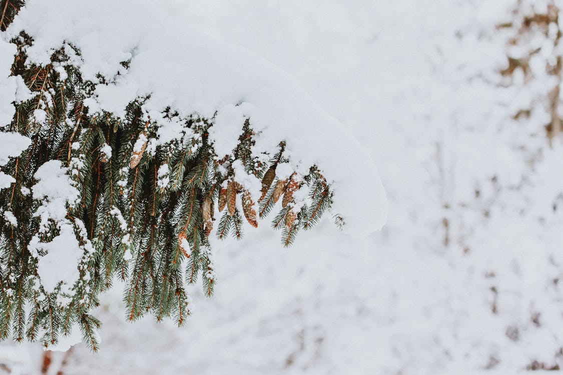 Coniferous tree branch covered with snow