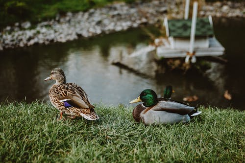 Drake and duck on grassy shore near lake