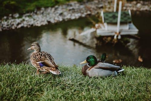 Drake and duck on grassy shore near lake