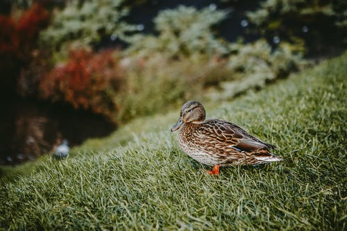 Single brown duck on green grass