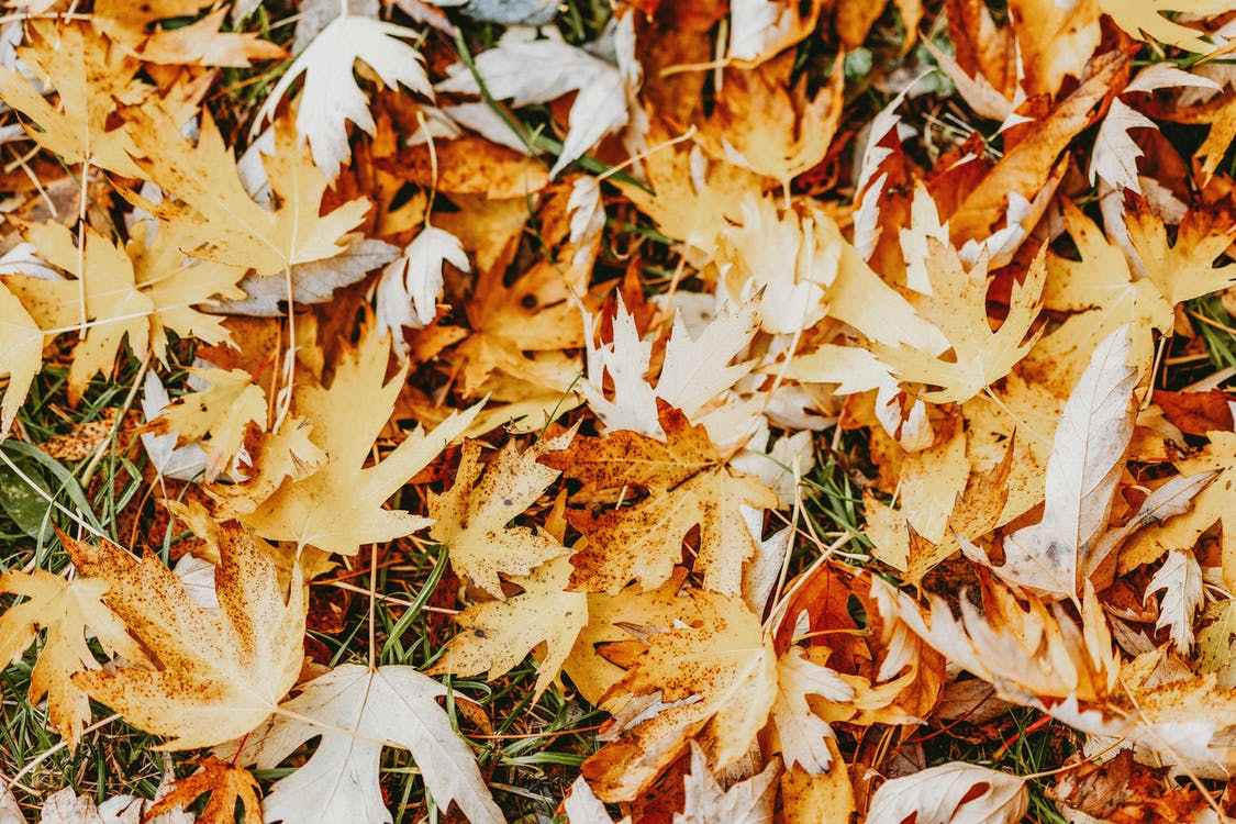 Yellow maple leaves on grassy ground