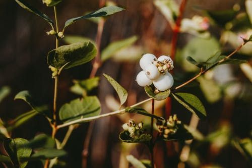 Branches of shrub with white berries