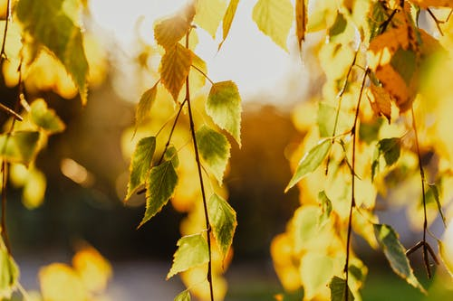 Dry yellow leaves on birch tree