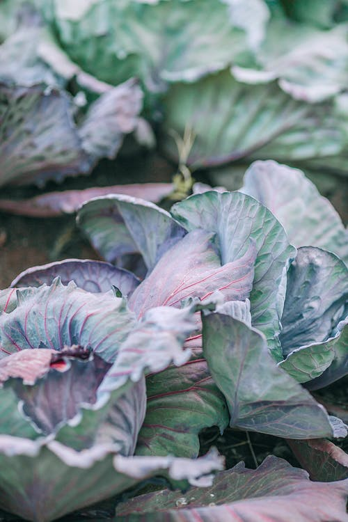 Round shaped cabbages with flexible lush green leaves and veins on surface growing in countryside