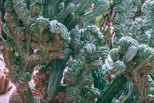 Prickly green cacti with wavy stems in sunlight