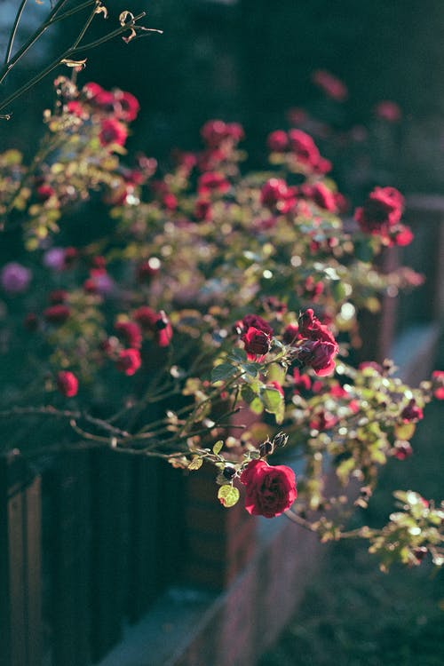 Aromatic fragrant blooming red garden roses growing in backyard near wooden fence on sunny day
