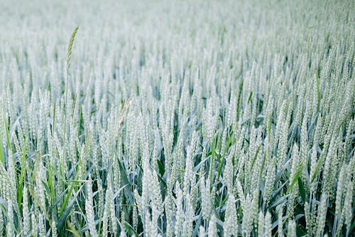 Agricultural field with wheat spikes in summertime