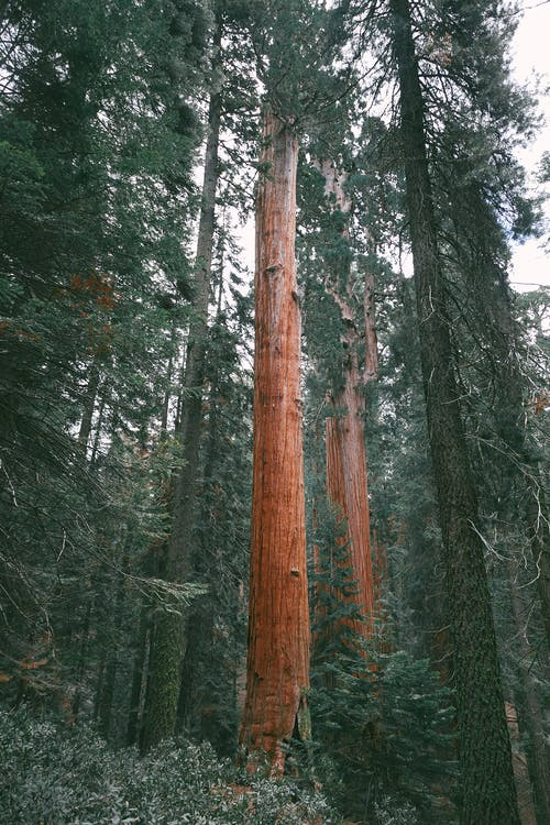 From below of high coniferous trees with thick trunks growing in woods on summer day