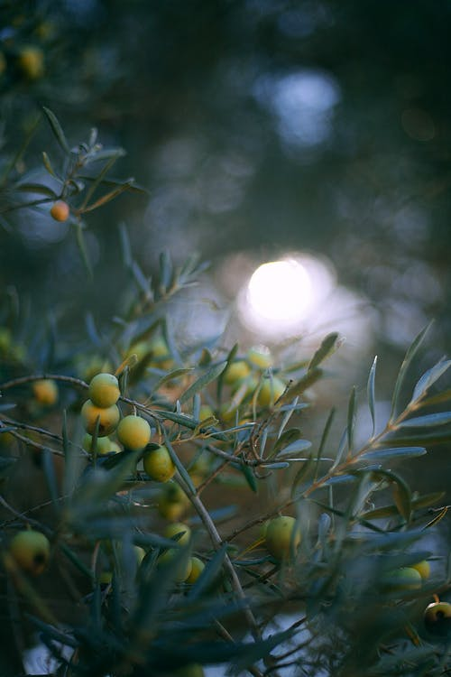 Branch of olive tree in dark garden