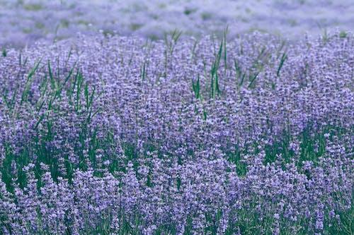 Kostnadsfri bild av äng, arom, aromatisk, bakgrund