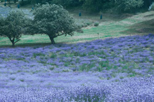 Lavender meadow with blossoming violet flowers