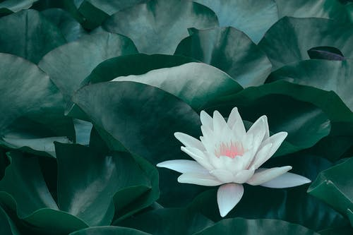 Blooming lotus flower with green leaves