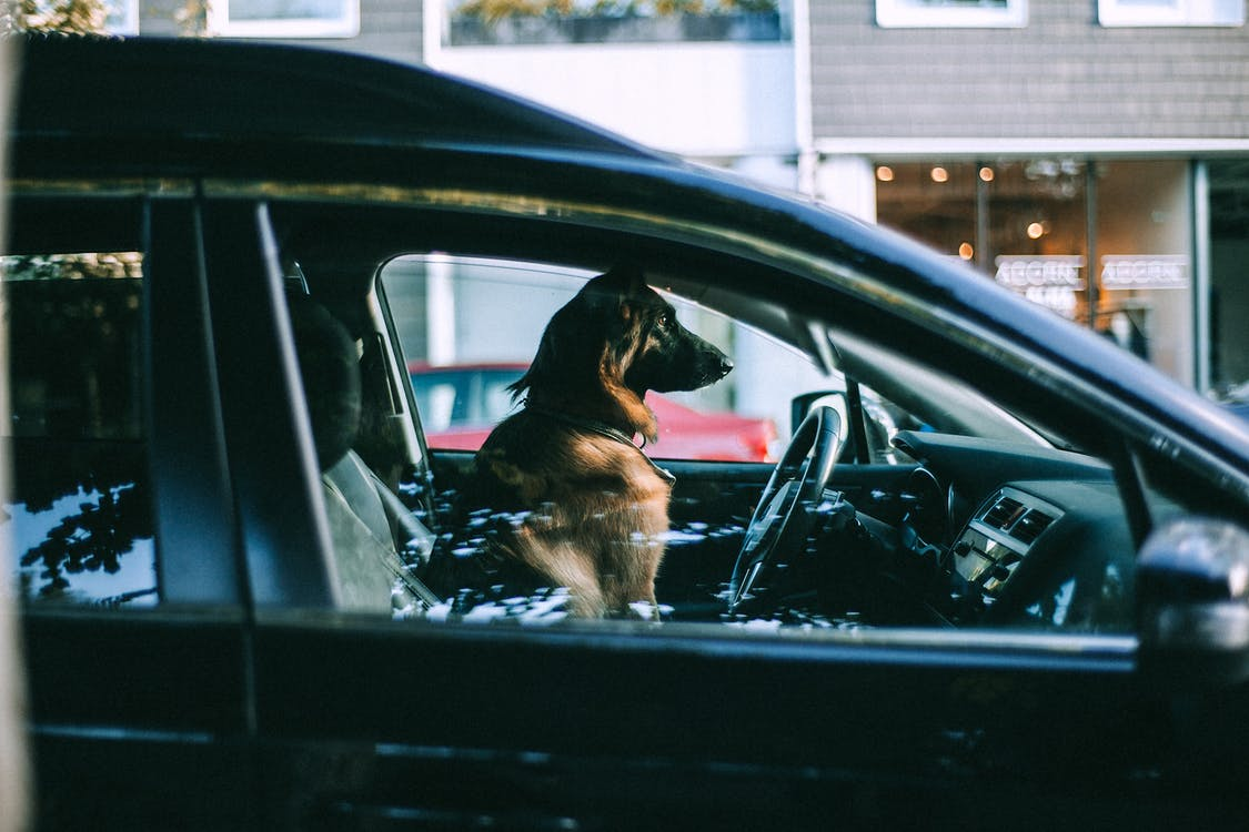 Side view of adult big dog looking away while sitting in automobile and waiting for owner in daytime