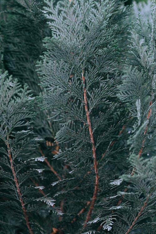 Branches De Sapin Vert