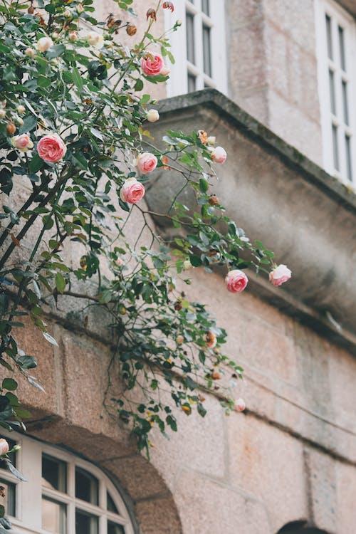 Kwitnące Drzewo Różane Rosnące Na Ulicy, W Pobliżu Starego Budynku