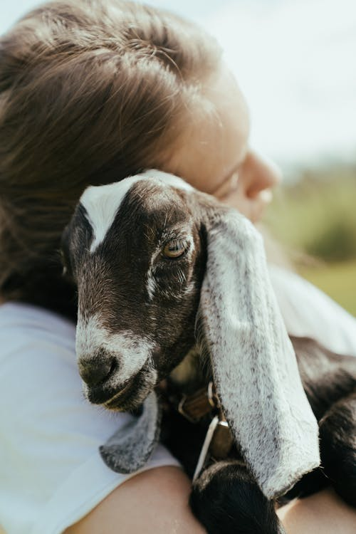 Black and White Goat on Persons Lap