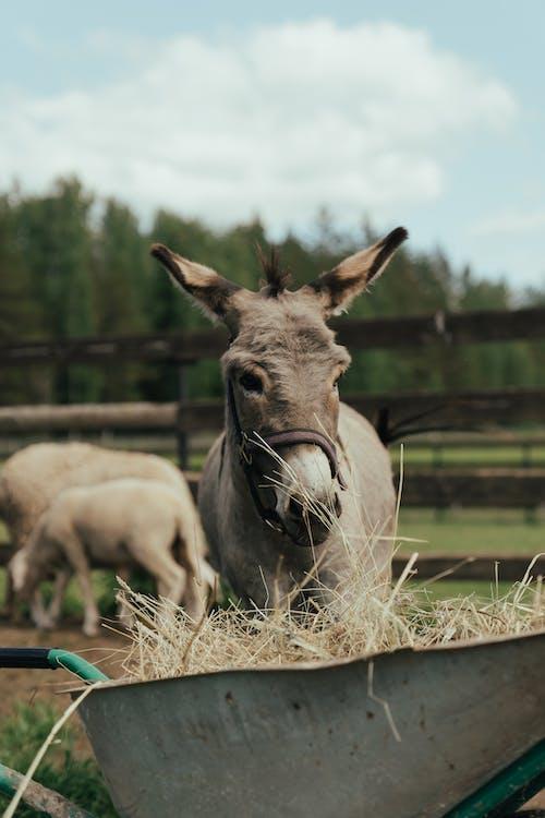 Foto profissional grátis de agricultura, animal doméstico, asno