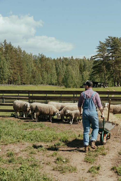 Man in Blue Shirt and Blue Denim Jeans Standing Beside Sheep