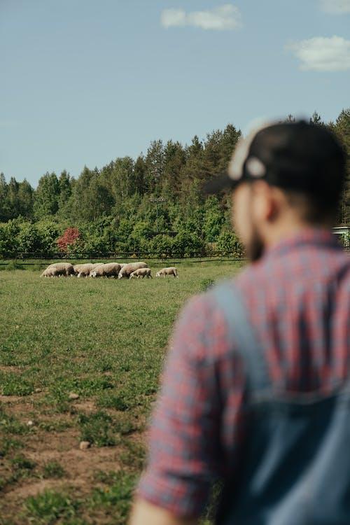 Photos gratuites de agneau, agriculteur, agriculture