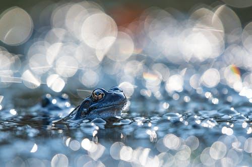 Free stock photo of baeutiful eyes, early morning, frog