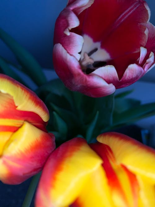 Free stock photo of #tulips #flowers