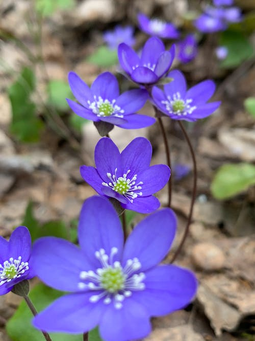Free stock photo of #flowers, #hepatica, #nature