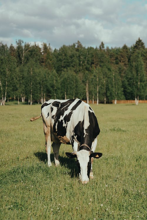 White and Black Cow on Green Grass Field