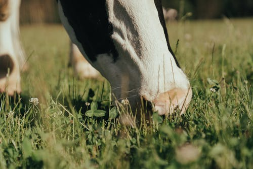 Black and White Cow on Green Grass Field