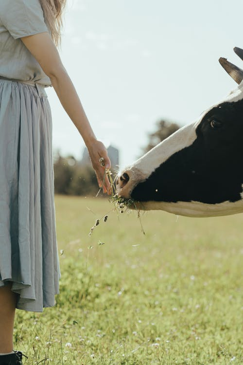 Woman in White Dress Standing Beside Black and White Cow
