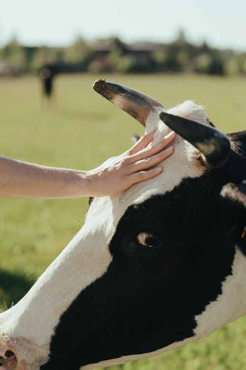 Person Holding White and Black Cow