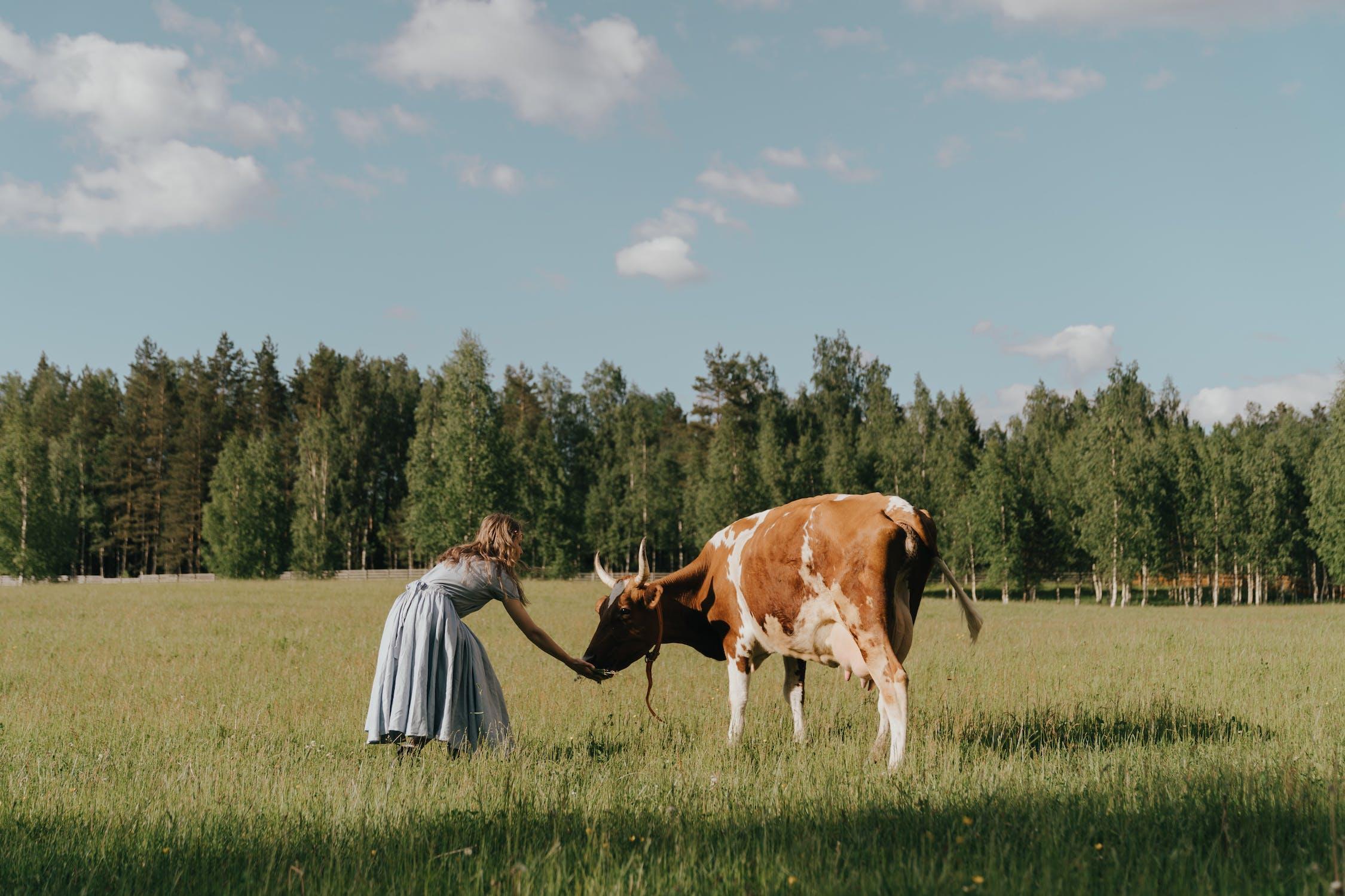 Cow @pexels.com