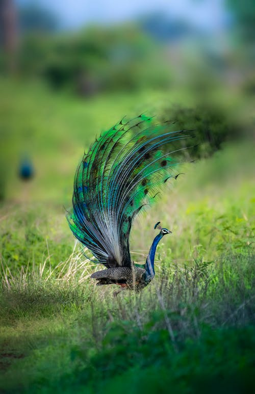 Exotic peacock with thin blue neck and bright feathers on tail walking in fresh green grass in soft focus
