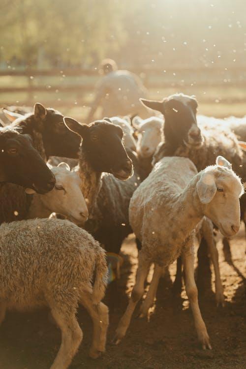 Immagine gratuita di agnello, agricoltura, aia