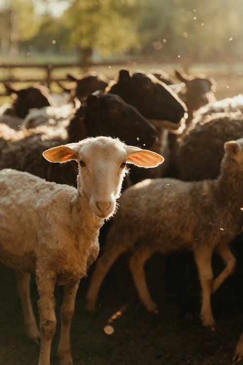 Herd of Sheep on Field
