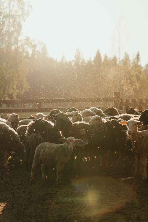 Herd of Sheep on Water